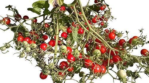 Johannisbeertomate -Wildtomate,Buschtomate- 10 Samen RARITÄT