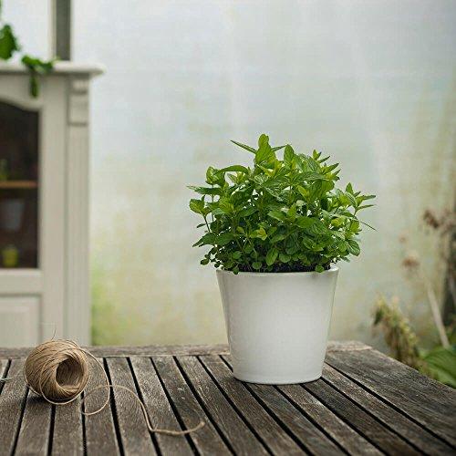 kentucky-spearmint-minzpflanze-im-topf-in-deutschland-gezogen-aufgezogen