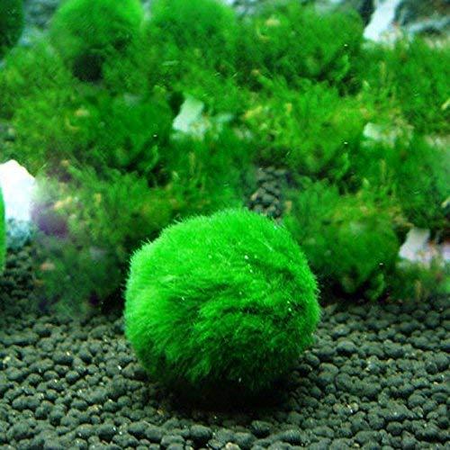 Honsin Marimo Moss Palla Gamberetti Lumache Giocare Alghe Crescita Pianta Acquario Paesaggio Decorazione