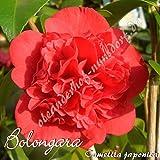 Kamelie 'Bolongara' - Camellia japonica, Grupo de precio:2