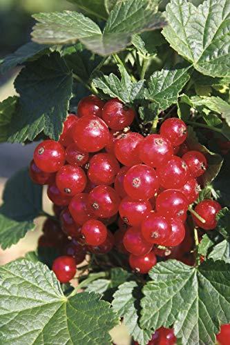 Rote Johannisbeere Ribest® Lisette® - Kräftiger Strauch im 5 L Container