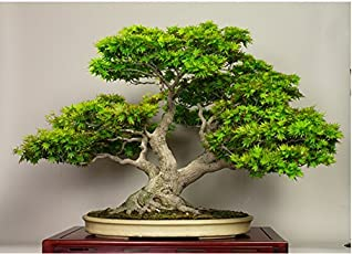 Bee Garden Japanese Green Maple Bonsai Tree Seeds (Pack Of 5)