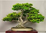 #4: Bee Garden American Maple Bonsai Suitable Tree Seeds, Very Beautiful Garden / Indoor Tree (Multicolor,05 Pcs)