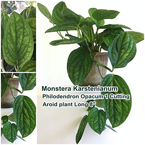 Seeds: odendron Opacum Seed, Monstera Karstenianum Seed, Aroid Seed Long 8
