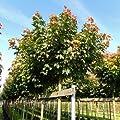 Kugelahorn 'Globosum' - Acer platanoides 'Globosum' 220 cm, StU 10-12 von Gartengruen24 - Du und dein Garten
