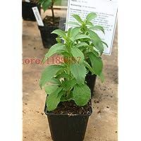 500 nouveaux Graines Stevia, Stevia Herbes Graines vert herbe, Stevia rebaudiana Semillas pour Garden Plantation chinois graines d'herbes bon marché