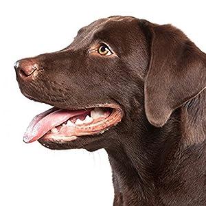 Bwogue dent Scaler kit d'outils (idéal pour chiens et chats)–17,3cm double Header tartre Remover/grattoir/miroir dentaire, EN ACIER INOXYDABLE