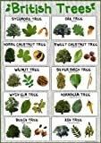 British Trees Laminated Nature Poster - Size A2 (59.4 cm x 42 cm) School Classroom Decoration/Resource!