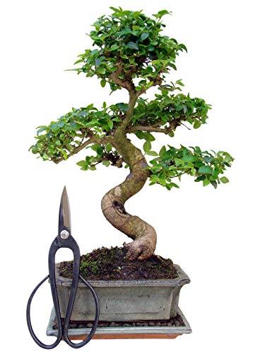 Zimmerbonsai | Chinesischer Liguster Bonsai | Ca. 9 Bis 10 Jahre | Ca. 35 Bis 40 Cm Hoch | Immergrün | Inkl. Bonsaischere und Gürteltasche