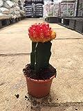 #2: Moon Cactus Small Live Plant Orange-Yellow Color