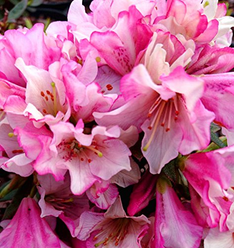 9cm-pot-dwarf-rhododendron-wee-bee-deep-pink-evergreen-shrub-plant