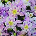 lichtnelke - Akelei (Aquilegia vulgaris WINKY EARLY PINK & WEISS) von Lichtnelke Pflanzenversand bei Du und dein Garten
