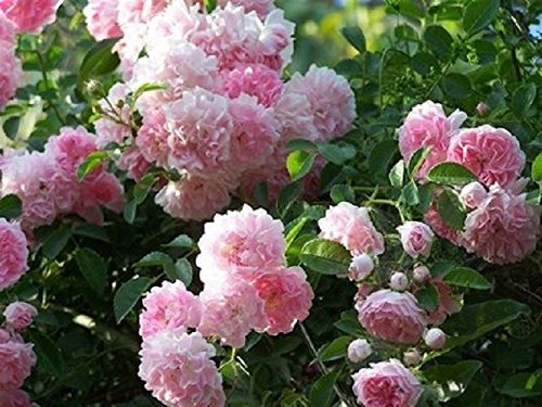 climbing-rose-dorothy-perkins-plant-in-a-35-litre-pot