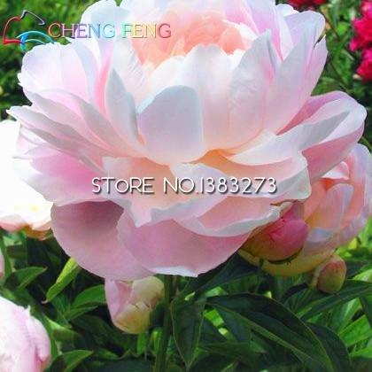 Galleria fotografica 2016 cinese peonia albero Seeds 5 PC di casa Peony semi di fiore raro Flores piante perenni Fiori Bulbi semi di bonsai da interno piante