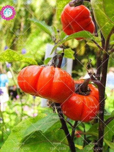 10pcs Mini Kürbis-Samen Squash-Zucchini-Samen Bonsai Bio-Fruchtgemüsesamen Topfpflanze für Hausgärten