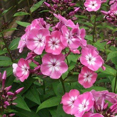 Hohe Rosa-weiße, leicht duftende Blüten
