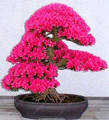 20 graines / paquet de graines de sakura japonais bonsaï ornement graines de cerisier fleurs de cerisier pour la maison et le jardin rouge