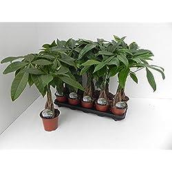 Glückskastanie (Pachira aquatica), Pflanze mit geflochtenem Stamm, ca. 45cm hoch, im 12cm Topf, Zimmerpflanze
