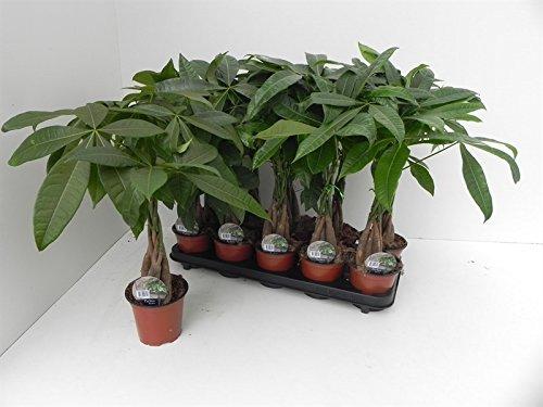 Glückskastanie (Pachira aquatica), Pflanze mit geflochtenem Stamm, ca. 45cm hoch, im 12cm Topf, Zimmerpflanze (Kastanien-stamm)