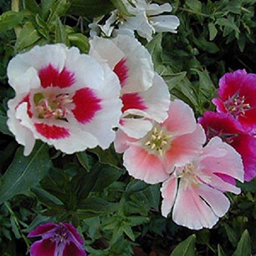 godetia-a-fleurs-dazalee-varie-150-graines