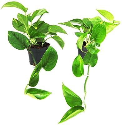 Efeutute 2 Pflanzen von Amazon.de Pflanzenservice bei Du und dein Garten