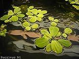 20 x Muschelblumen, Pistia stratiotes, Wassersalat
