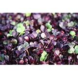 Premier Seeds Direct ORG156 40g Radish Rambo Organic Sprouting Seeds