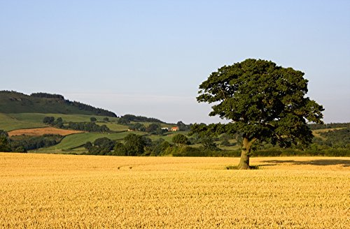 john-short-design-pics-tree-in-a-golden-field-of-grain-north-yorkshire-england-photo-print-9652-x-60
