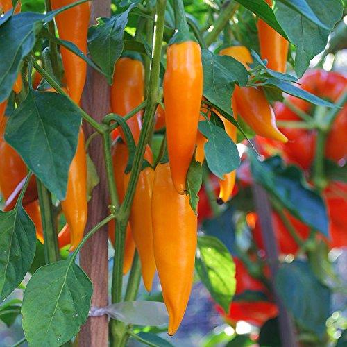 Portal Cool Hot Chilli Pepper - Bulgarian Carrot - 400 Seeds - Groß