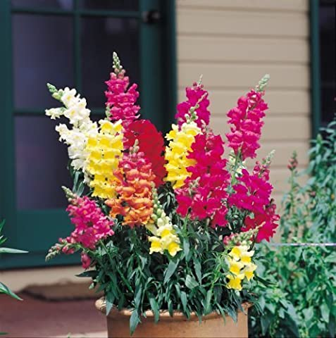 2000 NORTHERN LIGHTS MIX SNAPDRAGON Linaria Maroccana Flower Seeds by Seedville