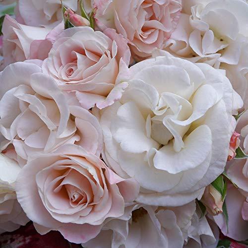 Papa francesco®, rosa rampicante in vaso di rose barni®, pianta di rosa rampicante rifiorente a mazzi, altezza raggiunta fino a 3,5 metri, rifiorente con fiori color rosa chiaro, cod. 20068.