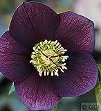 Christrose Lenzrose Blue Metallic Lady - Helleborus orientalis
