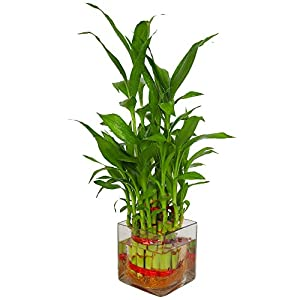Zaavic Lucky Bamboo 2 layer Plant in Beautiful Square Glass Pot and Coloured Jelly Balls Best Online Shopping Store