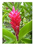 Roter Ingwer Alpinia purpurata tolle Blüten Zingiber Galgant Ingwer Pflanze 10cm