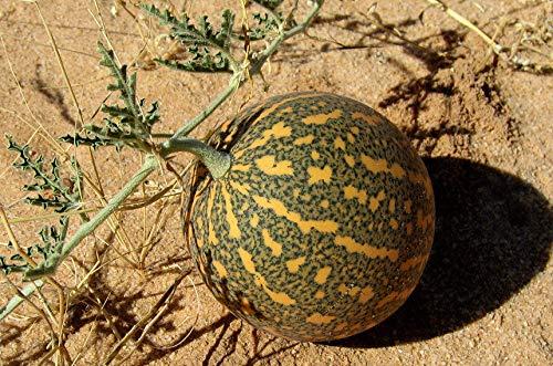 Portal Cool 50: coloquinte amère graines 15-300 Pomme Citrullus amère graines...