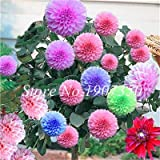 prime vista 50 Pcs Bonsaï Dahlia Fleur Dahlia Bonsaï En Plein Air Arbre De Charme Bonsaï Fleur (Pas Dahlia Bulbes) Maison Jardin En Pot Plante: 16