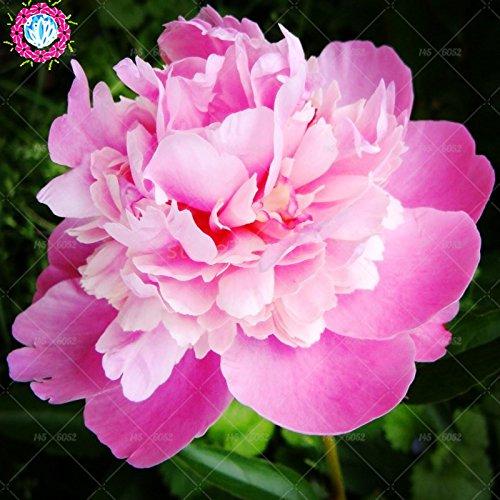 10 pcs / sac graines de pivoines fleurs doubles Heirloom Sorbet robuste pivoines graines de fleurs bonsaï pot noir graines de pivoine arbustive jardin des plantes 3