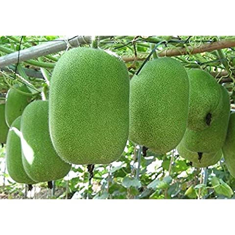 Nuovo trasporto libero 1 Scatola 10 inverno semi di melone Benincasa hispida cera zucca Semi Y88 - Inverno Fioritura Alberi