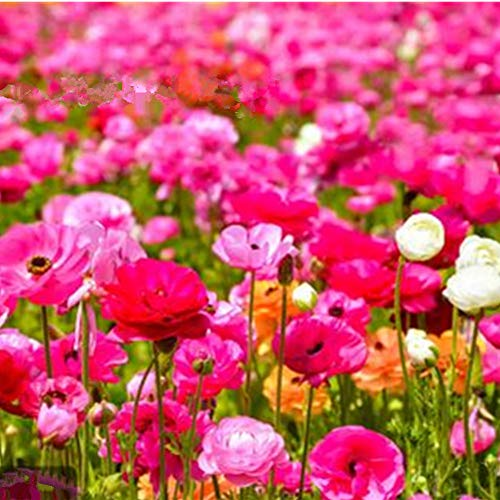 SummerRio Garten-100 Pcs Selten Mixed Wildblumen Kombination Samen Schmetterling & Bienen Mehrjährige Blume Pflanzensamen Winterhart Garten Balkon