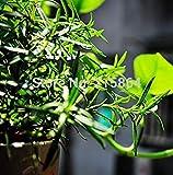 Vistaric 50 beeindruckende Eukalyptus gunnii Cidre Eukalyptus Herb Seeds, wunderschöne Farbe