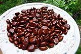 Portal Cool Zapote Negro/Negro Caqui 10 Semillas - Aka Postre con Frutas de Chocolate - Orgánica