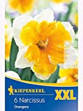 XXL- Blumenzwiebeln Narzissen Orangery spleißkronig weiß-orange
