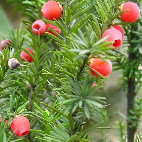 nuevos-10pcs-las-semillas-del-arbol-de-hoja-perenne-de-taxus-chinensis-semillas-planta-ornamental-pe