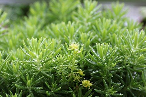 Tripmadam, grün Sedum reflexum (Sedum rupestre) 2000 Samen
