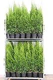 6 Thuja Pflanzen Smaragd im Topf, Thuja Smaragd, Höhe: 120-130 cm