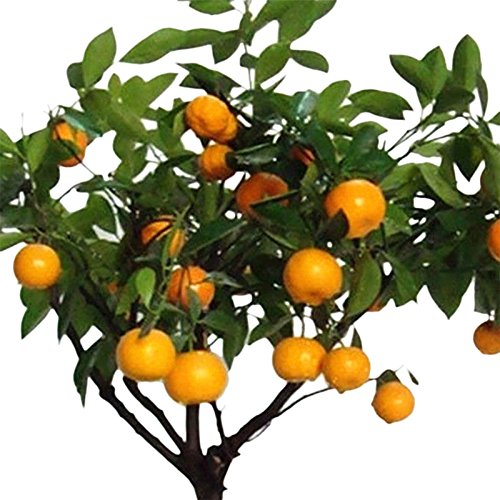 Auntwhale 30pcs Graines de citrus orange en pot