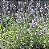 Fash Lady 2: 200pcs / lot Jardin Plantes aromatiques Petite fille Lavande, Graines de lavande de Provence française Graines de plantes en pot très parfumées 2