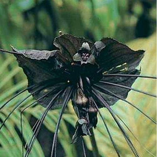JustSeed Flower Fledermausblume Bat Plant 5 Samen