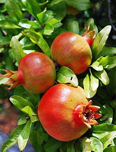 Pianta vera da frutto ALBERO DI MELOGRANO-PUNICA GRANATUM - TIPO 'WONDERFUL' AUTOFERTILE h 150 cm