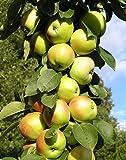 """Säulenapfel """"Nataluschka"""", Apfelbaum 2 jährig ca.100/140 cm. im Container.Säulen Spätsommer Äpfel"""